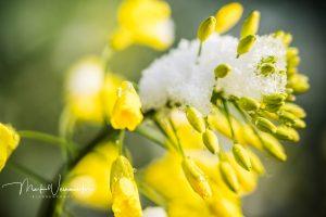 Rapsblüte im Schnee
